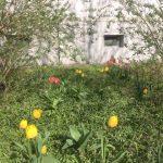 Beet mit Tulpen, Osterglocke vor Hauswand