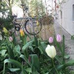 Tulpen, Fahrräder, Hauswand