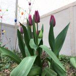 Lila Tulpen, im Hintergrund farbige Ostereier